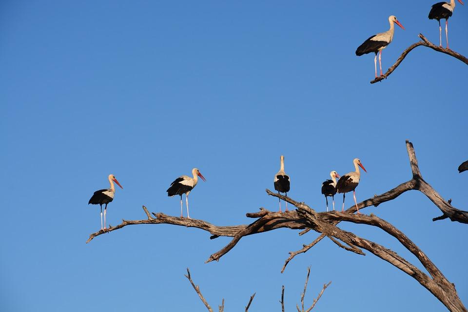 white-stork-657533_960_720